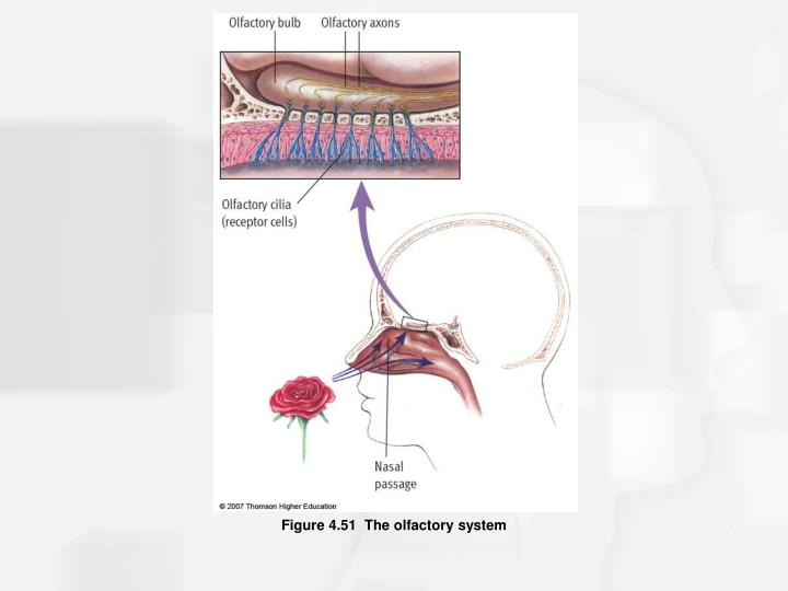 Figure 4.51  The olfactory system