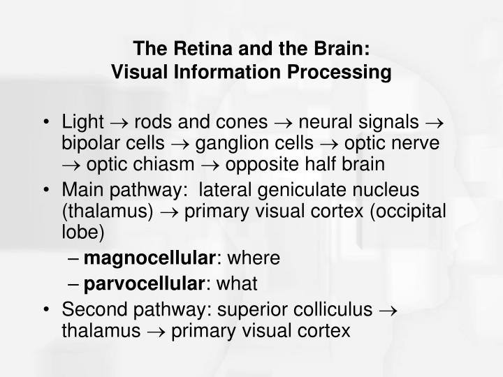 The Retina and the Brain: