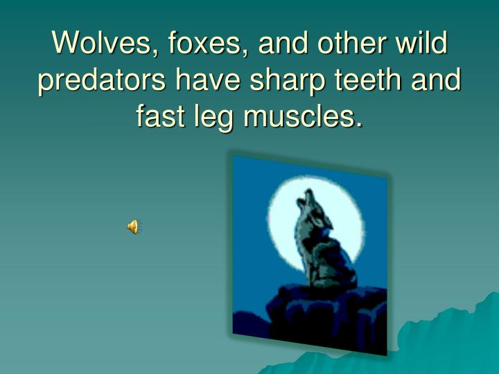 Wolves, foxes, and other wild predators have sharp teeth and fast leg muscles.