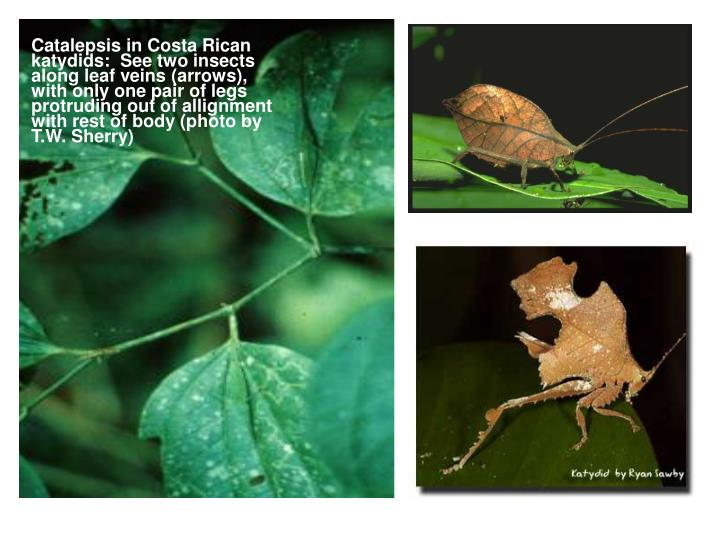 Catalepsis in Costa Rican katydids:  See two insects along leaf veins (arrows), with only one pair of legs protruding out of allignment with rest of body (photo by T.W. Sherry)