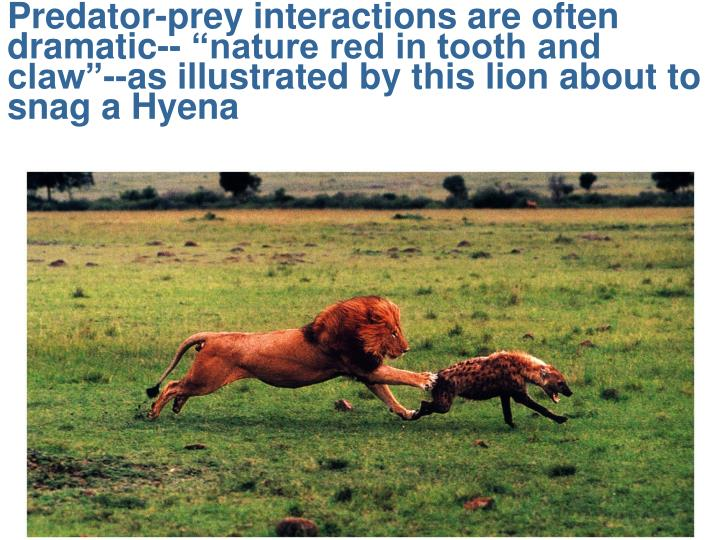 """Predator-prey interactions are often dramatic-- """"nature red in tooth and claw""""--as illustrated by this lion about to snag a Hyena"""