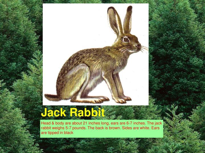 Jack Rabbit