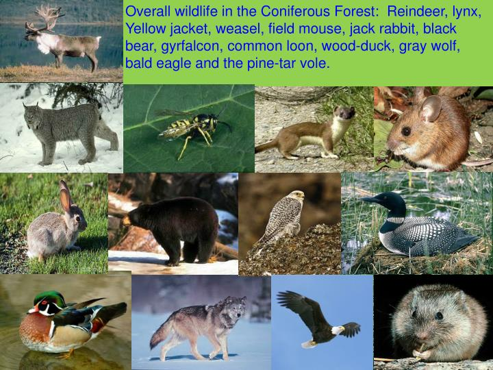 Overall wildlife in the Coniferous Forest:  Reindeer, lynx, Yellow jacket, weasel, field mouse, jack rabbit, black bear, gyrfalcon, common loon, wood-duck, gray wolf, bald eagle and the pine-tar vole.