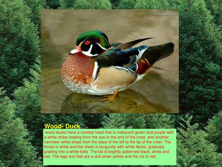 Wood- Duck