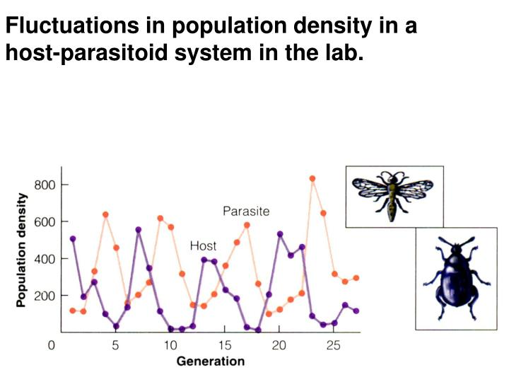 Fluctuations in population density in a host-parasitoid system in the lab.