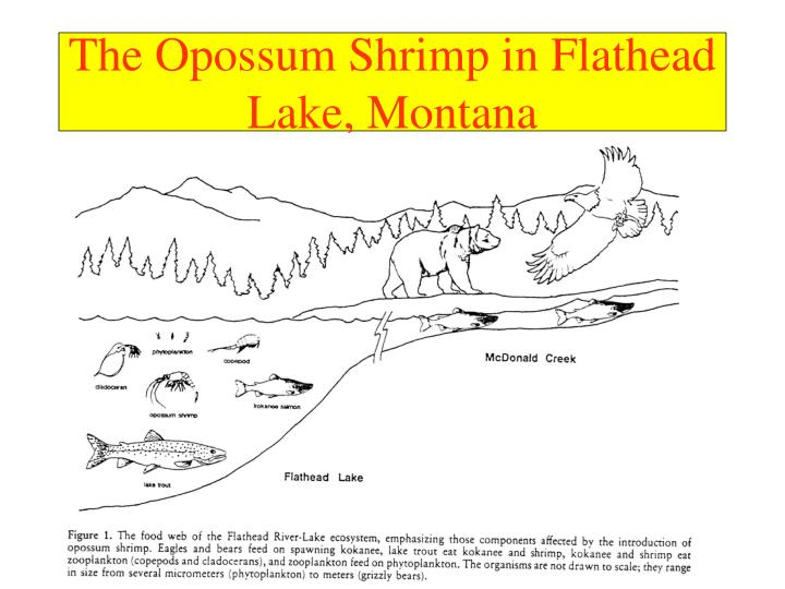 The Opossum Shrimp in Flathead Lake, Montana