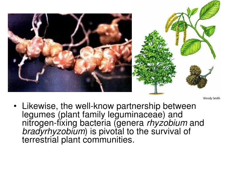 Likewise, the well-know partnership between legumes (plant family leguminaceae) and nitrogen-fixing bacteria (genera