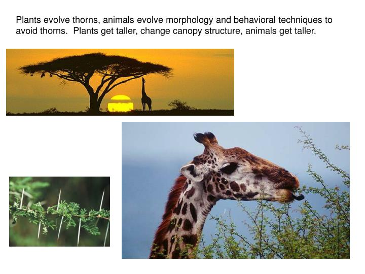 Plants evolve thorns, animals evolve morphology and behavioral techniques to avoid thorns.  Plants get taller, change canopy structure, animals get taller.