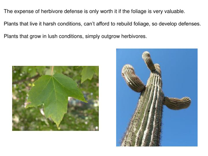 The expense of herbivore defense is only worth it if the foliage is very valuable.