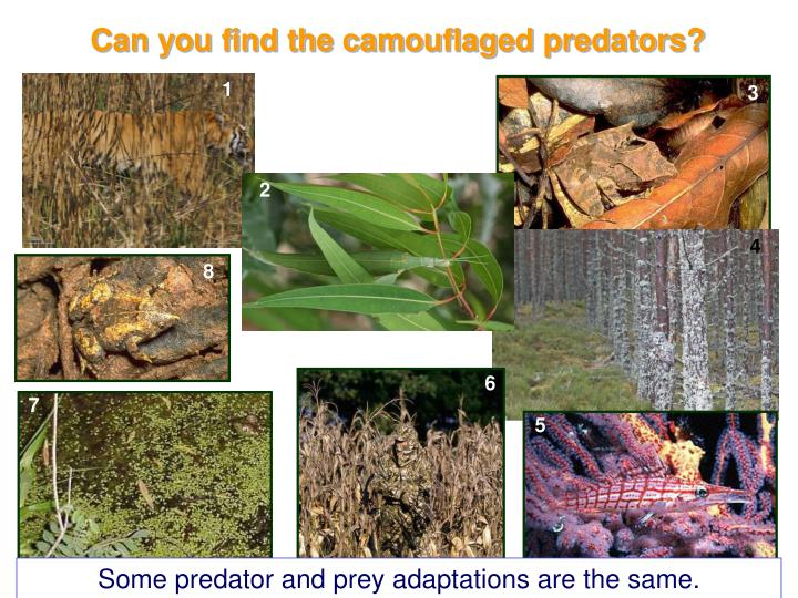 Can you find the camouflaged predators?