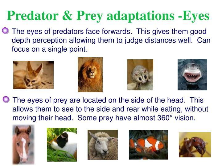 Predator & Prey adaptations -Eyes
