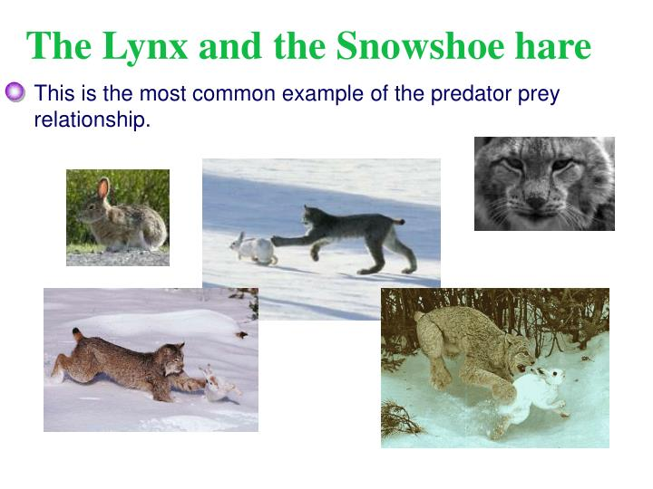 snowshoe hare and lynx predator prey relationship