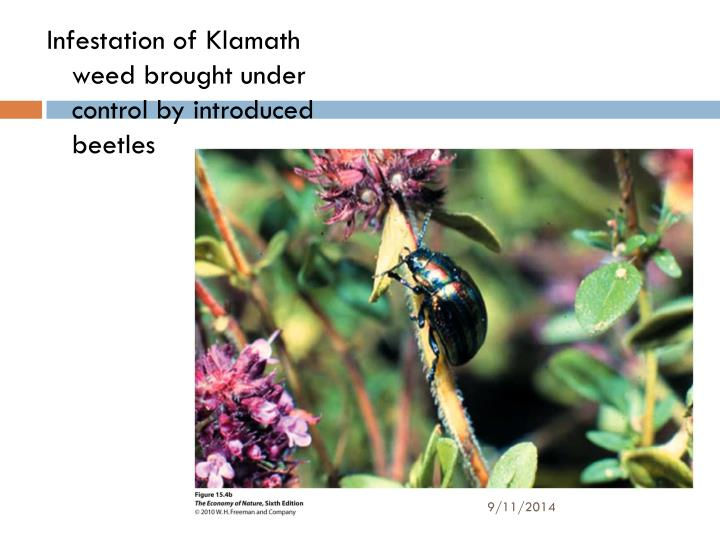 Infestation of Klamath weed brought under control by introduced beetles