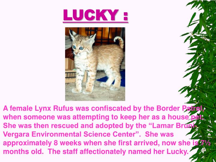 "A female Lynx Rufus was confiscated by the Border Patrol, when someone was attempting to keep her as a house pet.  She was then rescued and adopted by the ""Lamar Bruni-Vergara Environmental Science Center"".  She was approximately 8 weeks when she first arrived, now she is 7½  months old.  The staff affectionately named her Lucky."
