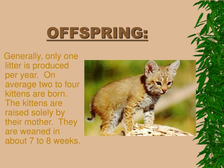 Generally, only one litter is produced per year.  On average two to four kittens are born.  The kittens are raised solely by their mother.  They are weaned in about 7 to 8 weeks.