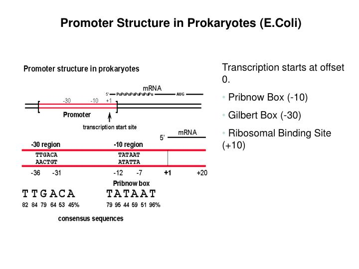 Promoter Structure in Prokaryotes (E.Coli)