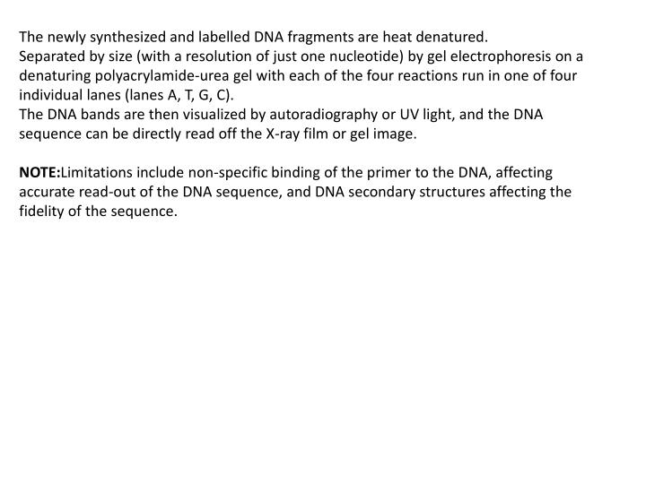 The newly synthesized and labelled DNA fragments are heat denatured.