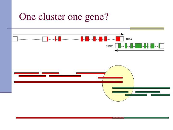 One cluster one gene?