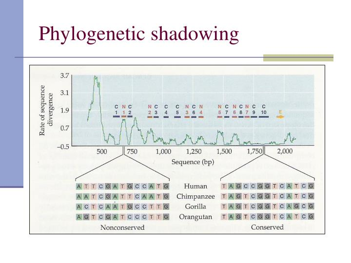 Phylogenetic shadowing