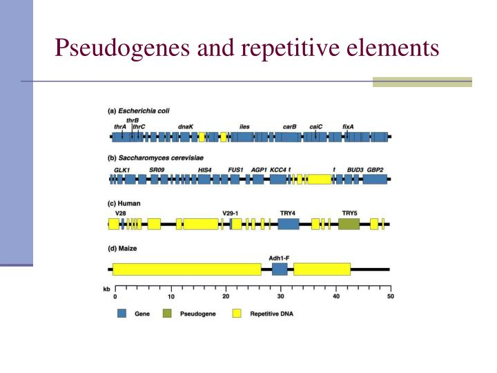 Pseudogenes and repetitive elements