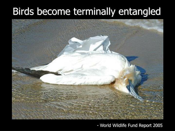 Birds become terminally entangled