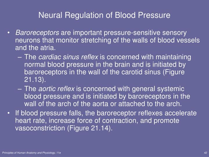 Neural Regulation of Blood Pressure