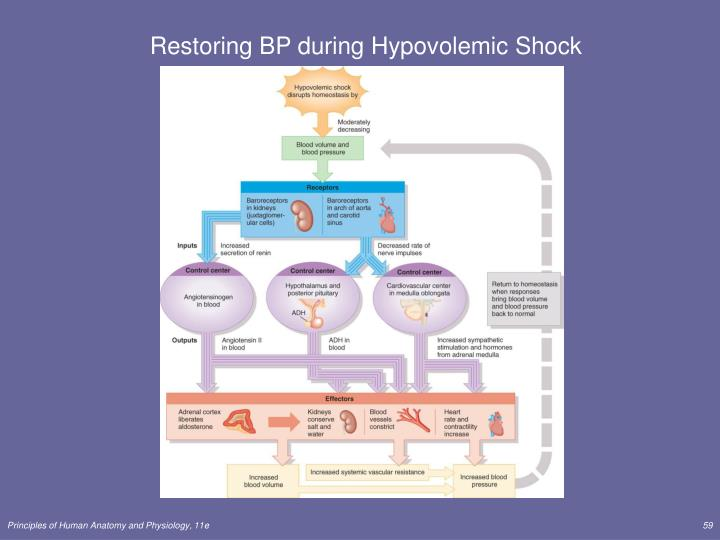 Restoring BP during Hypovolemic Shock