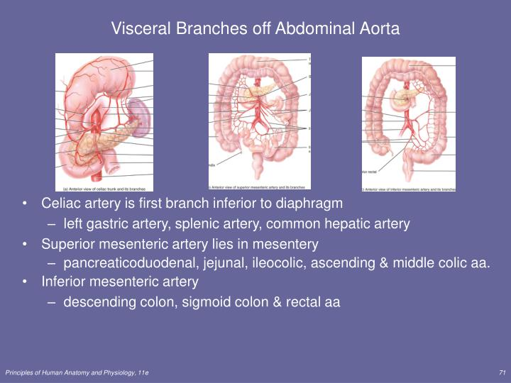Visceral Branches off Abdominal Aorta