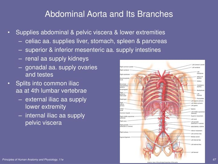Abdominal Aorta and Its Branches