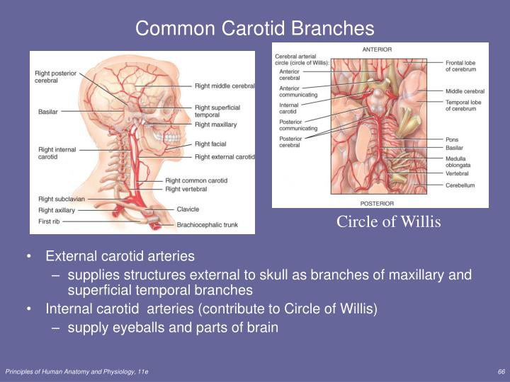Common Carotid Branches