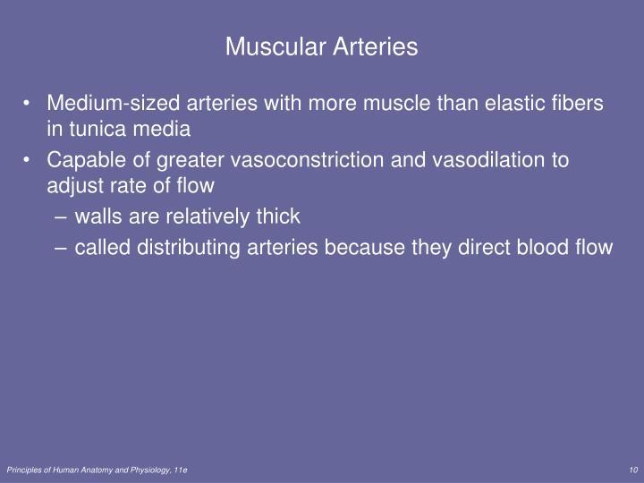 Muscular Arteries