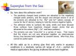 superglue from the sea3