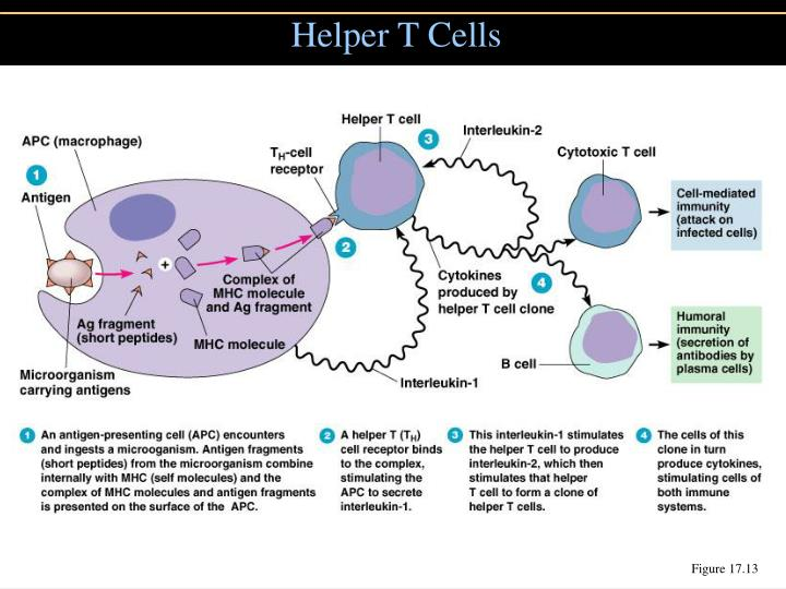 Helper T Cells