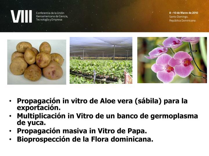 Propagación in vitro de Aloe vera (sábila) para la exportación.