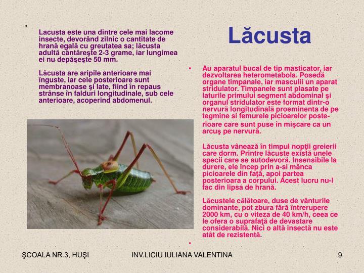Lacusta este una dintre cele mai lacome insecte, devor