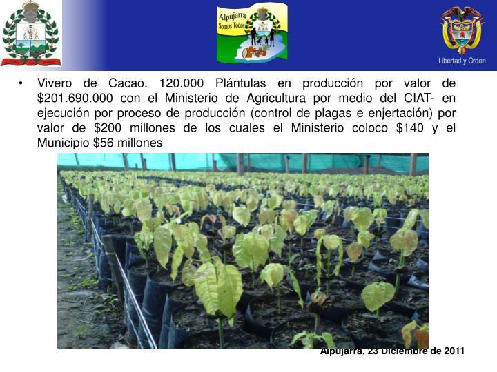 Vivero de Cacao. 120.000 Plántulas en producción por valor de $201.690.000 con el Ministerio de Agricultura por medio del CIAT- en ejecución por proceso de producción (control de plagas e enjertación) por valor de $200 millones de los cuales el Ministerio coloco $140 y el Municipio $56 millones