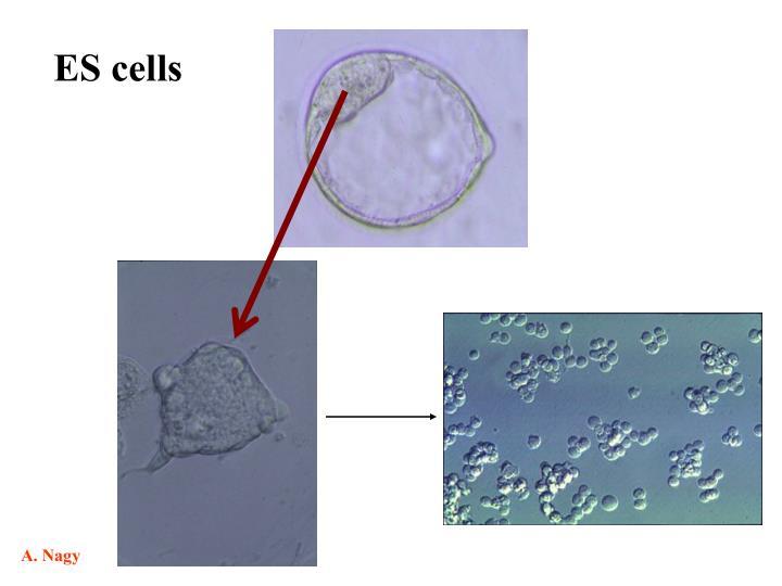 ES cells