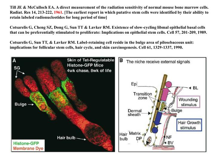 Till JE & McCulloch EA. A direct measurement of the radiation sensitivity of normal mouse bone marrow cells. Radiat. Res 14, 213-222,