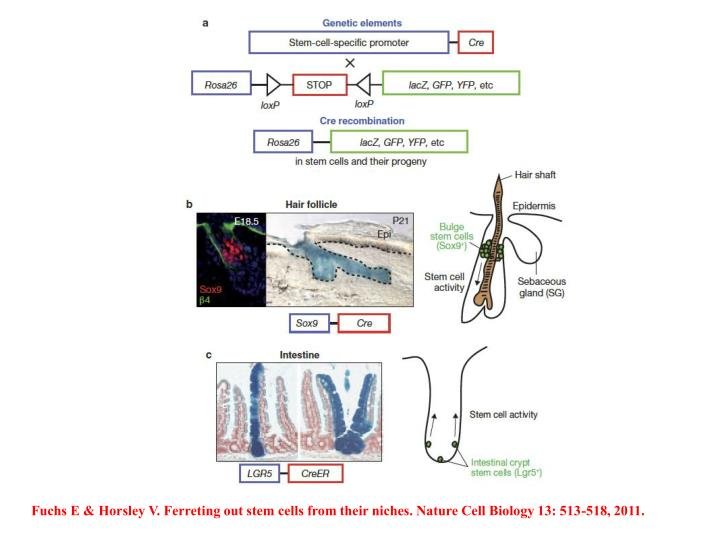 Fuchs E & Horsley V. Ferreting out stem cells from their niches. Nature Cell Biology 13: 513-518, 2011.
