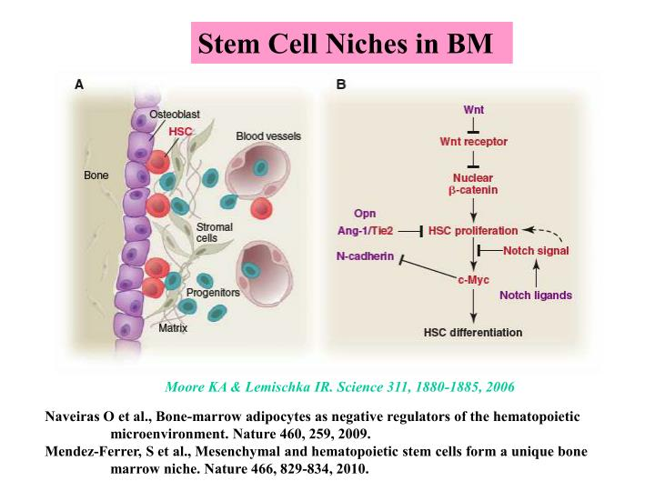 Stem Cell Niches in BM