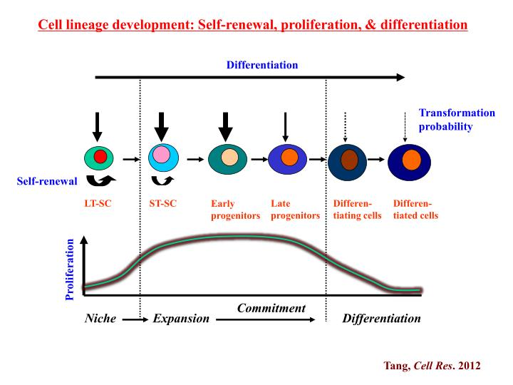 Cell lineage development: Self-renewal, proliferation, & differentiation