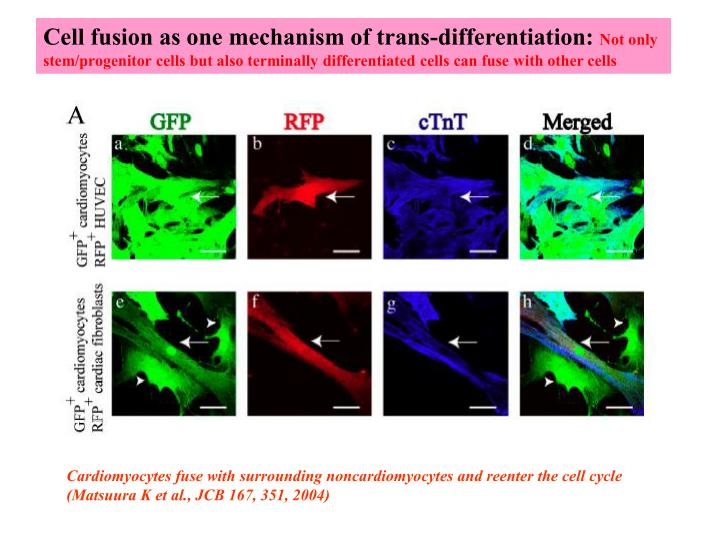 Cell fusion as one mechanism of trans-differentiation: