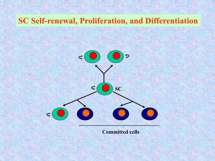 SC Self-renewal, Proliferation, and Differentiation