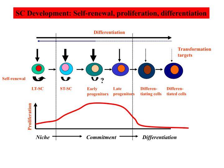SC Development: Self-renewal, proliferation, differentiation