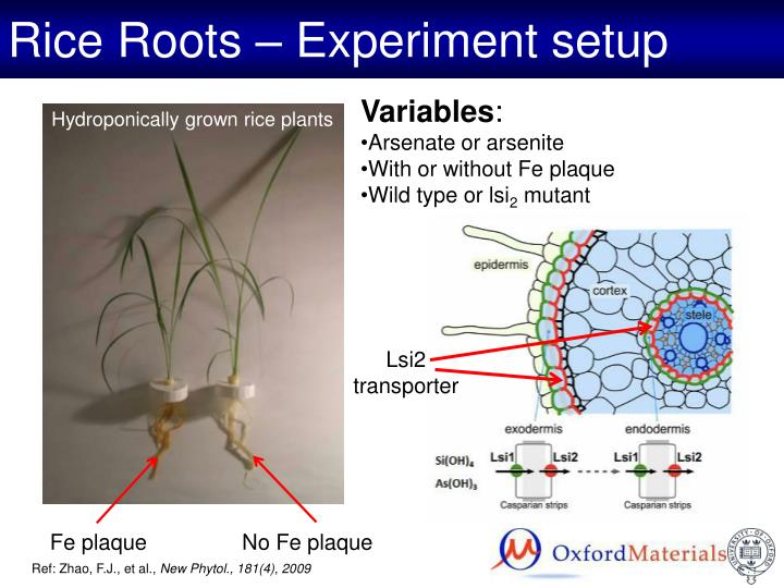 Rice Roots – Experiment setup