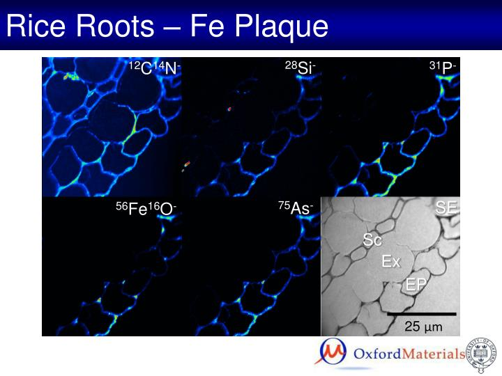 Rice Roots – Fe Plaque