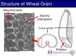 structure of wheat grain
