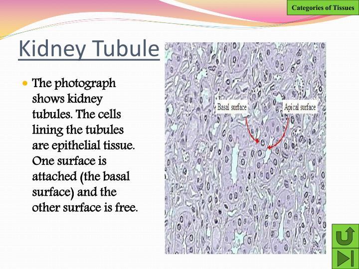 Kidney Tubule