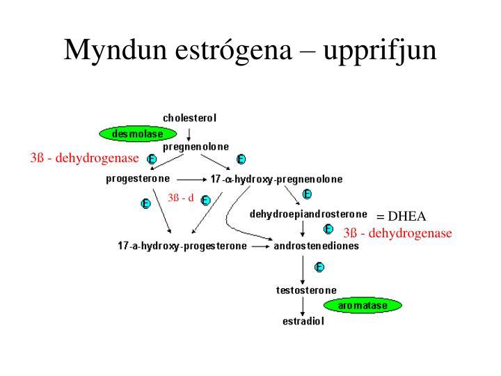 Myndun estrógena – upprifjun