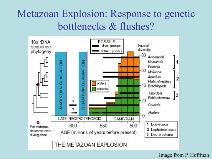 Metazoan Explosion: Response to genetic bottlenecks & flushes?